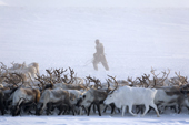 A Chukchi man rounding up a herd of reindeer near their winter pastures on the Chukotskiy Peninsula. Chukotka, Siberia, Russia
