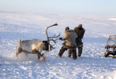 At their winter pastures Chukchi herders struggle to subdue a lassoed reindeer. Chukotskiy Peninsula, Chukotka, Siberia, Russia