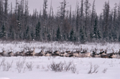 A herd of reindeer walking through deep snow at their winter pastures. Central Siberia, Russia. 1997
