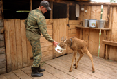 A Moose calf being fed oatmeal & milk in their pen at the Sumarokova moose farm. Kostroma, Russia. 2002