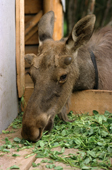 A yearling moose feeding on clover from a manger. Sumarokova moose farm, Kostroma, Russia. 2002