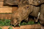 A bull moose eating clover from a manger in a barn at the Sumarokova moose farm. Kostroma, Russia. 2002