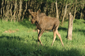 A moose yearling in an enclosure at the Sumarokova moose farm near Kostroma. Russia. 2002