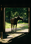A moose arrives at the farm in the early morning to be milked. Sumarokova moose farm. Kostroma, Russia. 2002