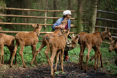Larissa, a worker at the Sumarkova moose farm looks after the calves in an enclosure. Kostroma, Russia. 2002