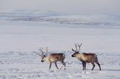 Two reindeer at their winter pastures near Lovozero on the Kola Peninsula. NW Russia. 2005