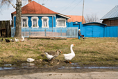 Geese and chickens outside a brightly coloured house in the village of Pogost. Ryazan Province, Russia. 2006
