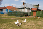 Geese and chickens outside a brightly coloured houses in the village of Pogost. Ryazan Province, Russia. 2006