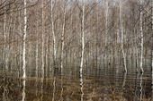 Birch trees flooded by meltwater during the Spring thaw at Pogost Village. Ryazan Province, Russia. 2006