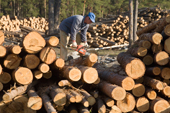 A forestry worker using a chain saw to cut pine logs near Gus-Zheleznyy. Ryazan Province, Russia. 2006