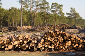 Stacks of pine logs cut from the forests near Gus-Zheleznyy will be used for building. Ryazan Province, Russia. 2006