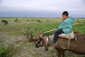 Tungus, an 8 year old Evenk boy, keeps watch over his family's reindeer at their summer pastures in Piltun Bay. Sakhalin Island, Russian Far East.