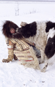 Tanya Falkova, a 10 year old Nganasan girl, plays with a sled dog at a camp on the Kheta River. Taymyr, Northern Siberia, Russia. 2004