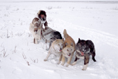 Nadiya Asyandu, a Nganasan woman, encourages her dog team to pull in deep snow. Taymyr, Northern Siberia, Russia. 2004