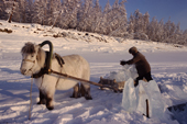 A man uses a horse & sled to collect river ice to melt for water near Verkhoyansk. Yakutia, Siberia, Russia.