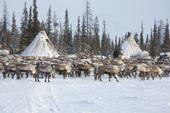 Draught reindeer infront of a Komi herders' winter camp in the Yamal. Western Siberia, Russia
