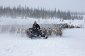 Nikolai Valeev, a Komi reindeer herder, rounding up draught reindeer at their winter pastures with his snowmobile and dog. Yamal, Western Siberia, Russia