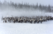 A reindeer herd at their winter pastures being gathered by Komi herders. Yamal, Western Siberia, Russia