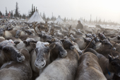 Komi herders working with their draught reindeer in a corral at their winter camp. Yamal, Western Siberia, Russia.