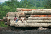 Loggers sit on Meranti logs felled from rainforest at Tiok. Siberut. Indonesia.