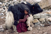 Herder milks a Yak outside a stone shelter. Nimaling Plateau. Ladakh. India.
