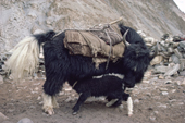 Yak calf finds milk under the long coat of its mother. Nimaling Plateau. Ladakh. India.