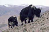 Yaks at the Kongka-Nonpo-La Pass. Nimaling Plateau. Ladaka. India.