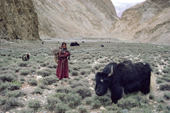 Herder's daughter watches the herd of Yaks. Nimaling Plateau. Ladakh. India.
