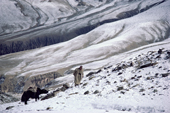 Yak herder leads Yak across snow covered Nimaling Plateau. Ladakh. India.