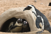 Penguins with artificial nesting burrow on Penguin Beach at Living Coasts. Devon.