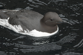 Common Murre or Guillemot, this bird is common in the North Atlantic and Pacific waters. C.