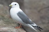 Red legged Kittiwake, Rissa brevirostris, nests only in 4 sites in the Bering Sea. C.