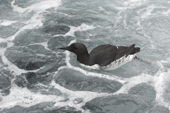 Common Guillemot or Murre in aerated water. These birds are common in North Atlantic and Pacific waters. C.