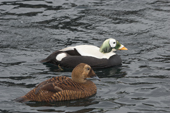 Spectacled Eider duck and drake, these birds nest on the north coastal areas of Siberia and Alaska. C.