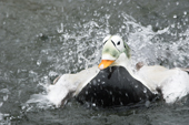 Spectacled Eider takes a bath. These birds are native to the waters north of Siberia C
