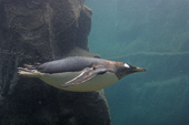 Gentoo penguin flies underwater. The fastest swimming penguin, reaching 36kmph (22.3mph) it lives in Antarctic and sub Antarctic waters. C