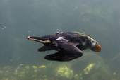 Tufted Puffin flying underwater as he chases small fish. Living Coasts.