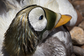 Portrait of a Spectacled Eider after a swim, He has his breeding plumage at its best. Living Coasts