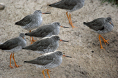 Lines of redshanks on the shore. Living Coasts