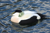 Male Common Eider on the water. Living Coasts