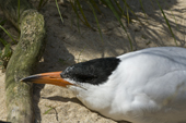 Caspian Tern rests its beak on a log as it rests. This is the largest species of Tern. Living Coasts.