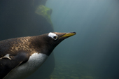 Gentoo penguin portrait as it dives underwater. These are the fastest swimming penguins. Living Coasts.